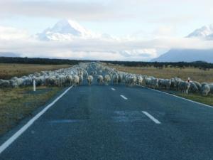 羊の移動風景